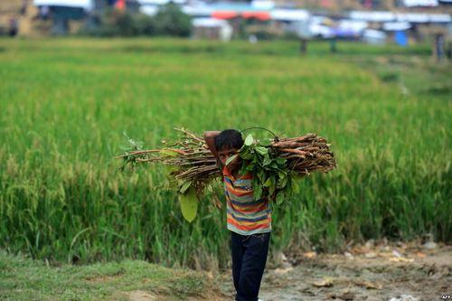 جمع کردن هیزم در اردوگاه پناهجویان مسلمان میانماری در بنگلادش