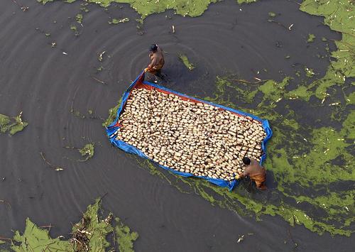 جمع آوری ریشه گیاه نیلوفرآبی – چین