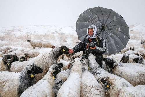 گله گوسفند در هوای برفی در وان ترکیه