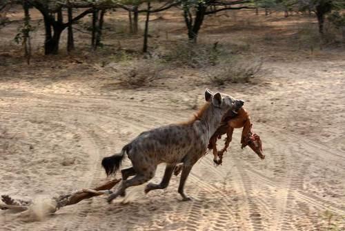 کفتار بقایای یک لاشه یک ایمپالا را از سگ های وحشی آفریقایی در منطقه حفاظت شده سلوس در لیندی تانزانیا دزدیه و به سرعت فرار می کند، عکاس: Robert Gibb .