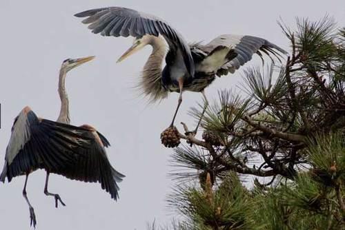 دو حواصیل آبی بزرگ هنگام فصل جفت گیری در منطقه ریویئرا ایالت کالیفرنیا آمریکا، عکاس: Alberto Lau .