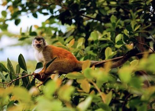یک میمون سنجابی در جنگل های بارانی پونتارناس کاستاریکا، عکاس: Luis Lopez B .