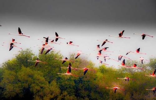 پرواز فلامیگوها بر فراز راس الخور شیخ نشین دبی، امارات عربی متحده، عکاس: Erik Almqvist .
