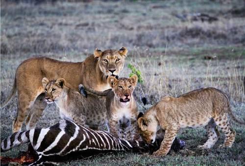 خانواده شیرها و لاشه گورخری که شکار کرده اند در منطقه حفاظت شده ناکورو ریفت ولی کنیا ، عکاس: alejandro silva .