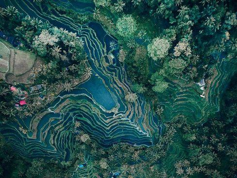 شالیزارهای برنج در جزیره بالی اندونزی