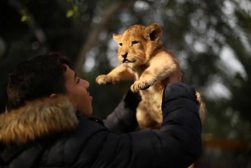 حراج 3 بچه شیر باغ وحش باریکه غزه به قیمت 3500 دلار برای هر کدامشان به دلیل مشکلات جدی در نگهداری حیوانات باغ وحش