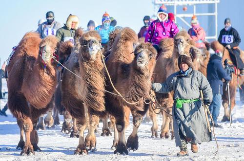 جشنواره شتر در منطقه مغولنشین در شمال چین