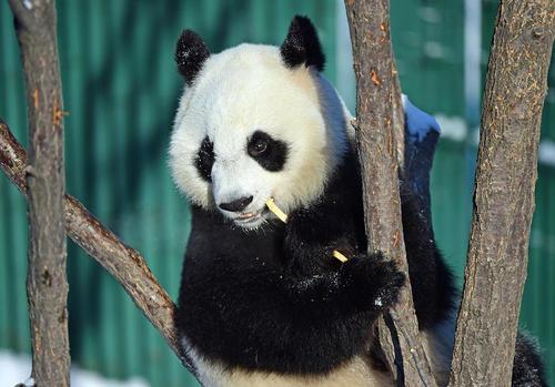 بازی یک پاندا در یک باغ- زیستگاه در شنیانگ چین