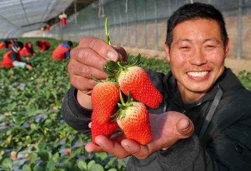 مزرعه گلخانه ای توت فرنگی – چین
