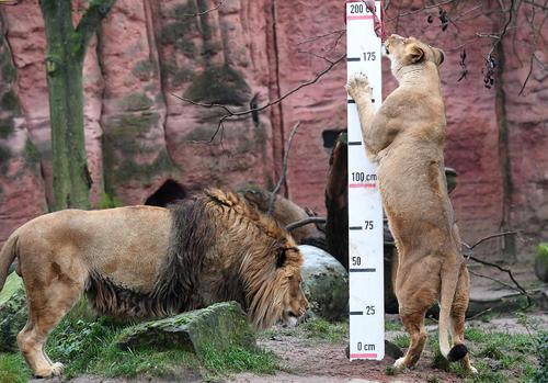 وزنکشی و اندازهگیری سالانه حیوانات باغ وحش هانوفر آلمان