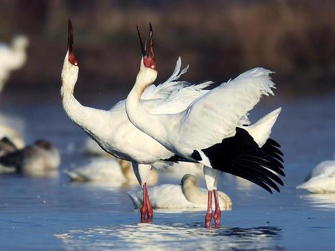 مرغهای ماهیخوار در دریاچه پونانگ در نانچانگ چین
