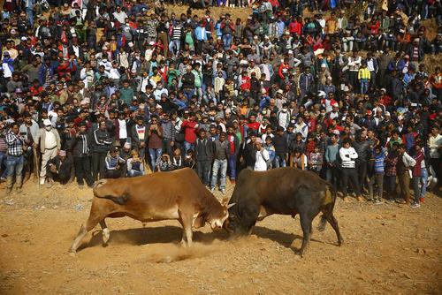 مسابقه گاوها در جریان جشنوارهای در نپال