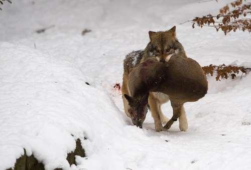 شکار یک گرگ – باواریا آلمان