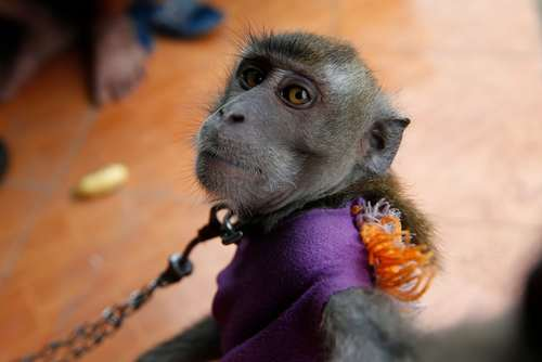 میمون دستآموز در جاوه اندونزی