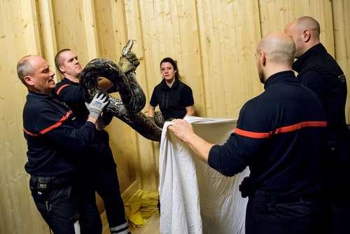 آتشنشانان سوییسی در حال مهار یک مار پیتون عظیمالجثه
