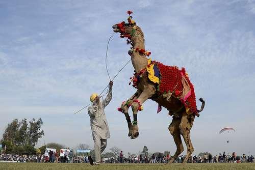 رقص یک شتر با تمرین دهنده اش در واپسین روز از جشنواره ورزشی