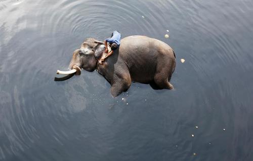 شستشوی یک فیل در آب های رود یامونا در دهلی نو/عکس: رویترز