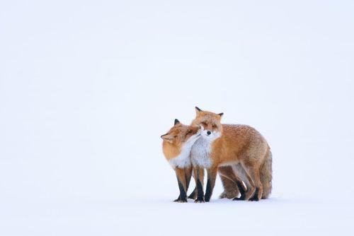 دو روباه قرمز در جزیره برفی