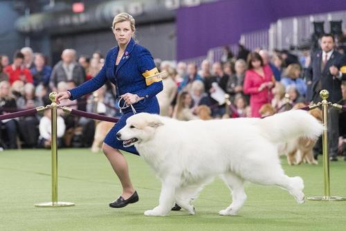نمایش سالانه سگهای خانگی – نیویورک