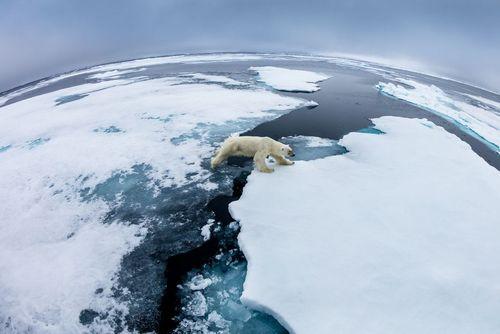 خرس قطبی در حال عبور از صفحات یخ در شبه جزیره