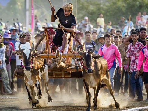 مسابقه سنتی ارابهرانی با گاو در تایلند