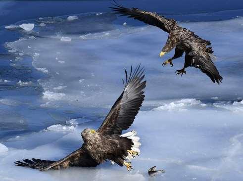 دعوای دو عقاب بر سر یک ماهی- ولادی وستک روسیه