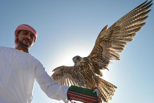 یک آموزشدهنده شاهین شکاری در شهر ابوظبی کشور امارات متحده عربی