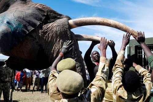 انتقال یک فیل به یک پارک ملی در کنیا- عکس: خبرگزاری فرانسه