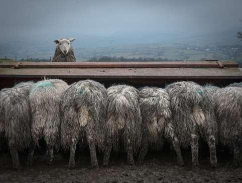 مزرعه پرورش گوسفند در کندال بریتانیا