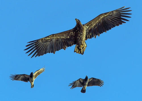 پرواز عقاب دریایی در فرانکفورت آلمان/ عکس: خبرگزاری آلمان