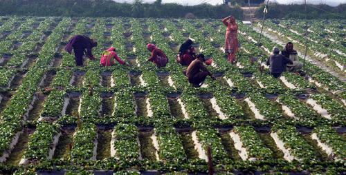 مزرعه توت فرنگی در لاهور پاکستان