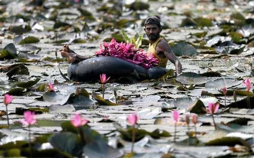 مرد سریلانکایی در حال جمعآوری گل نیلوفرآبی برای فروش در بازار -  عکس :رویترز