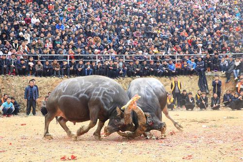 نبرد گاوها در روستایی در جنوب غرب چین