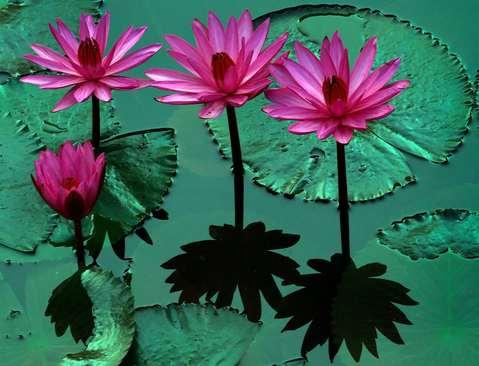گل نیلوفر آبی در کلمبو سریلانکا