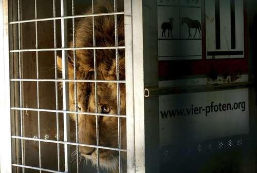شیر نر نجات یافته از جنگ داخلی سوریه در یک مرکز حیات وحش در اردن/عکس:آسوشیتدپرس