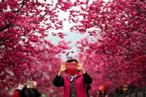 عکس گرفتن از شکوفههای درخت گیلاس – تایوان