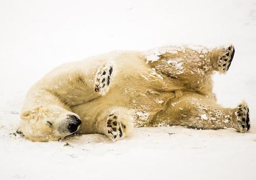 لذت بردن خرس قطبی پارک حیات وحش یورکشایر بریتانیا از بارش برف