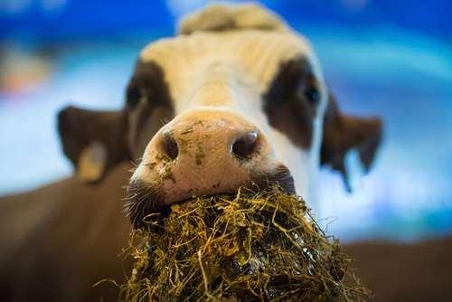 پنجاه و پنجمین نمایشگاه سالانه کشاورزی و دامپروری در پاریس/ عکس: خبرگزاری فرانسه