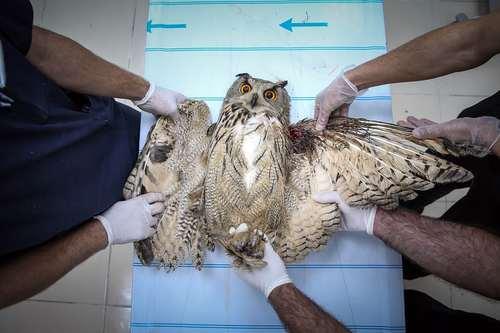 مداوای یک جغد زخمی شده از سوی شکارچیها در یک کلینیک حیوانات در شهر وان ترکیه/ عکس: خبرگزاری آناتولی