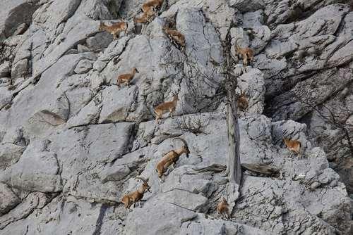 بزهای کوهی در حال صعود از کوههای اطراف شهر آنتالیا ترکیه / عکس: خبرگزاری آناتولی