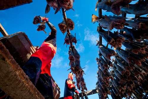 خشک کردن ماهی- نروژ
