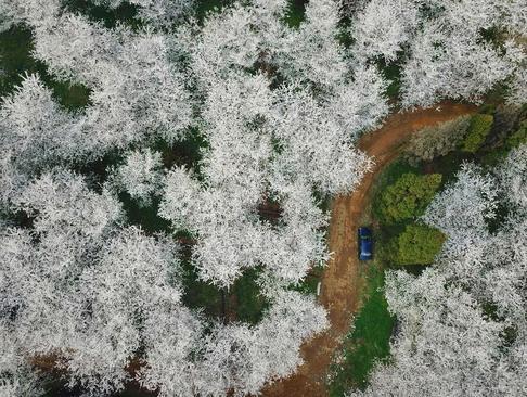 شکوفههای گیلاس- چین
