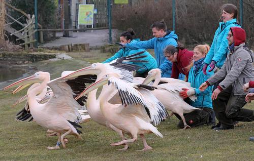 رها کردن 8 پلیکان در پارک پرندگان در مارلو آلمان