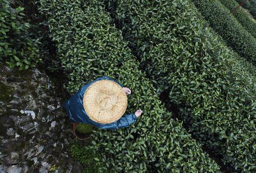 برداشت برگ سبز چای – چین