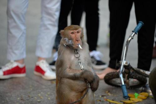 میمون دستآموز در حال کشیدن سیگار در شهر
