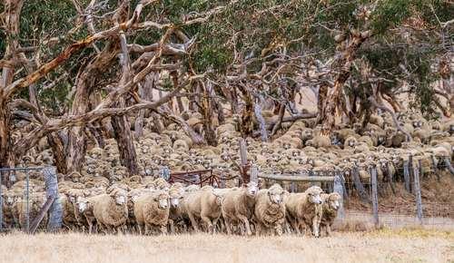 مزرعه بزرگ پرورش دام در استرالیا