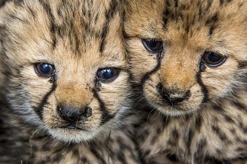 دو توله چیتا تازه متولد شده در باغ وحشی در جمهوری چک