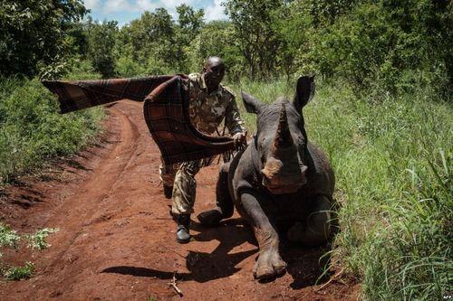 پوشاندن چشم یک کرگدن ماده برای انتقال او با هلی کوپتر- پارک وحش کنیا