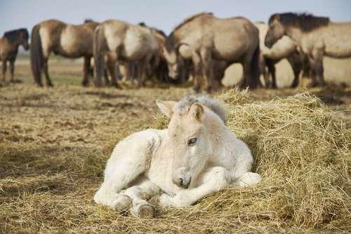 گله اسبهای وحشی در یک منطقه حفاظت شده در هلند