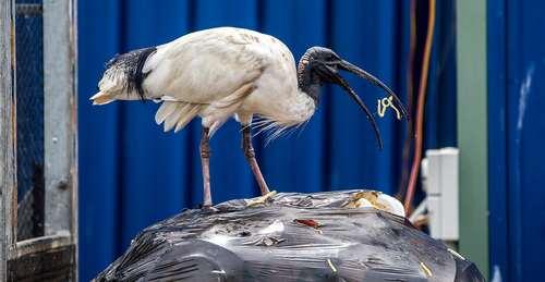 زباله خواری یک نوع لکلک گرمسیری در استرالیا
